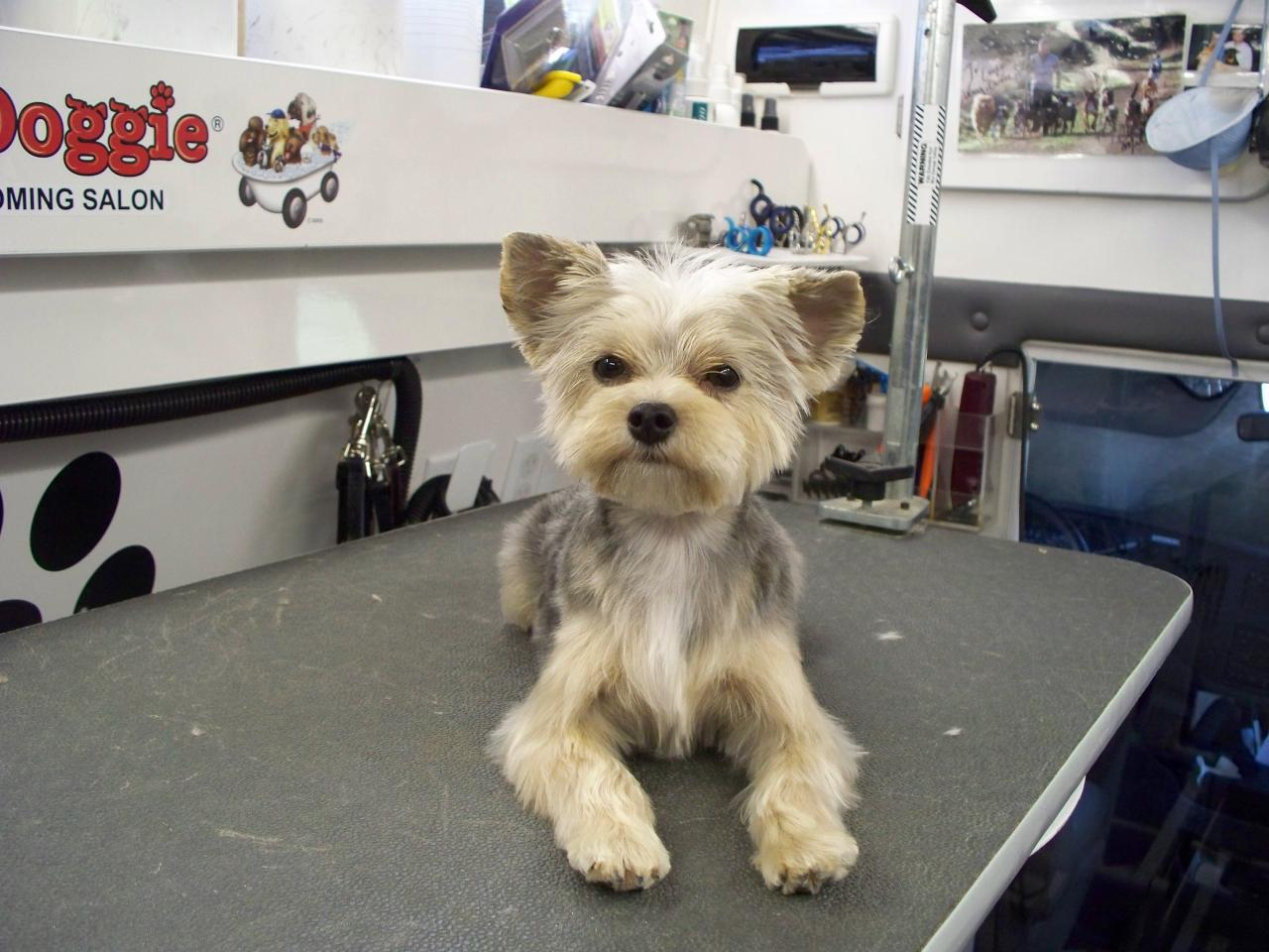 Dark After Photo Gallery Yorkie Maltese Mix Hypoallergenic Yorkie Maltese Mix Sale Los Angeles Morkie After Club Doggie Mobile Grooming Salon Before bark post Yorkie Maltese Mix