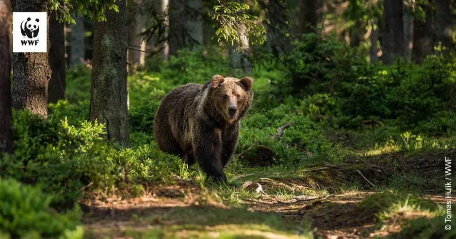 urs-animale-salbatice