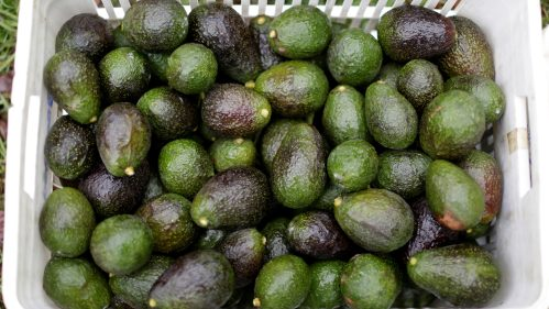 Trendy Apeel Sciences Has Invented A Way To Keep Your Avocados From Going Bad Soquickly Quartz Apeel Sciences Has Invented A Way To Keep Your Avocados From Going