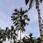 Climbing-Cocos-sri-lanka