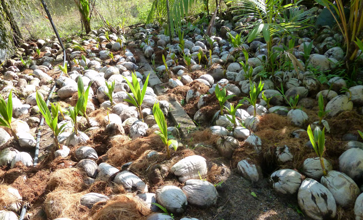 Coconut seed germination nursery