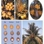 Red malay dwarf coconut