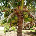 Cooktown super dwarf coconut