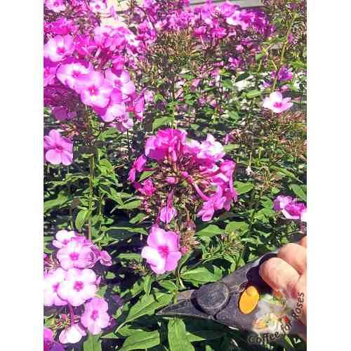 Medium Crop Of How To Deadhead Roses