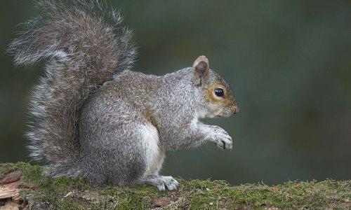 Grey-Squirrel