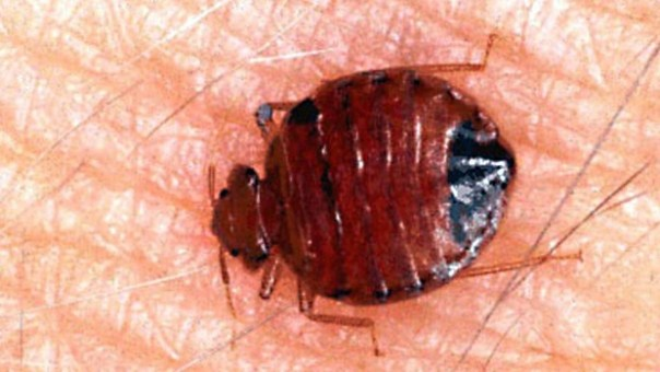 nyc-bedbugs