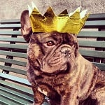 Boss The French Bulldog Crown ft
