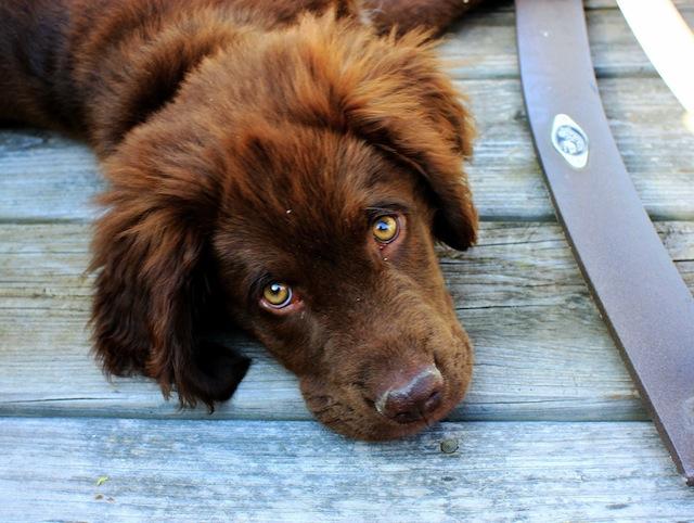 Propreté du chiot : apprenez la propreté à votre chien en 5 étapes faciles et simples