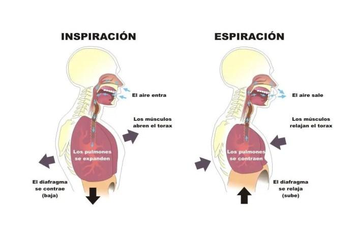 Cómo se produce la inhalación y exhalación paso a paso
