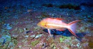 This photo provided by Bishop Museum and NOAA shows a male Hawaiian Pigfish, one of the deep-water fishes never before seen by divers, found during a 25-day research expedition from May 22 to June 15, 2016, in the waters in the Northwestern Hawaiian Islands. Researchers in Hawaii have discovered three probable new species of fish while on an expedition in the protected waters of the Papahanaumokuakea Marine National Monument. (Richard Pyle/Bishop Museum and NOAA via AP)