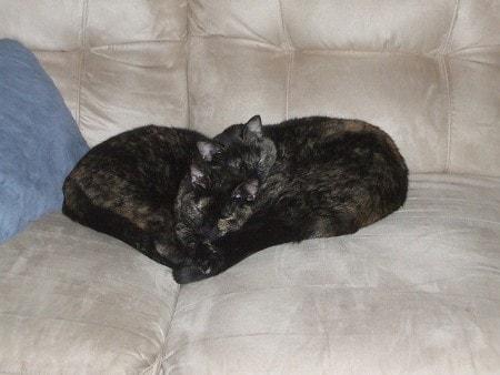 feline-heart-disease