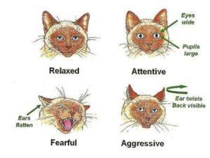 feline body language ears