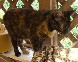 adoptable tortoiseshell cat