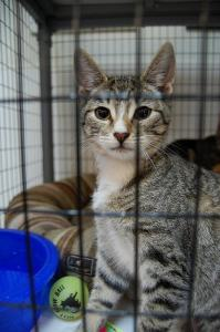 shelter_cat_in_cage