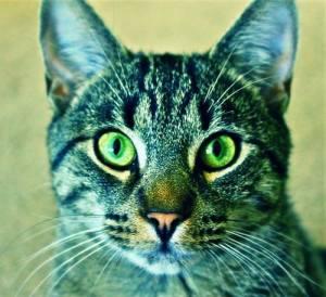 green-eyed-cat