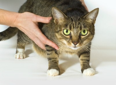 lymphoma_in_cats