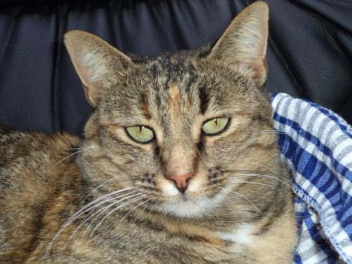 pancreatitis-in-cats