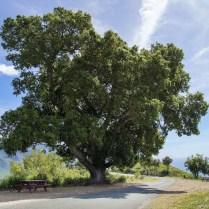 A beloved old oak tree, popular spot for picnics, overlooking Lime Kiln Canyon.