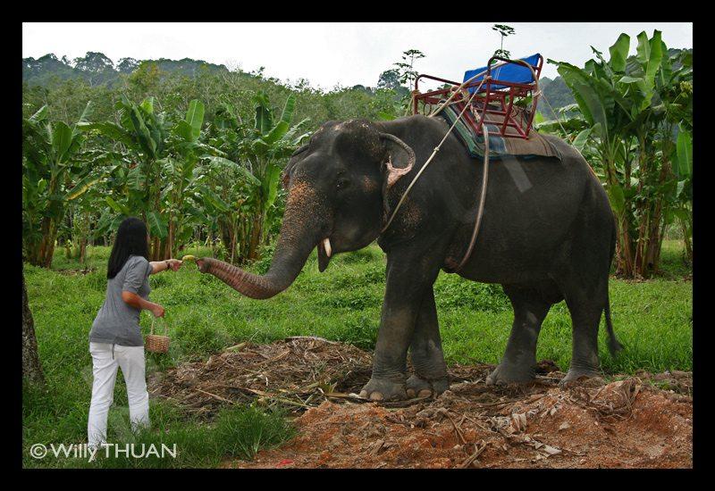 elephant-feeding