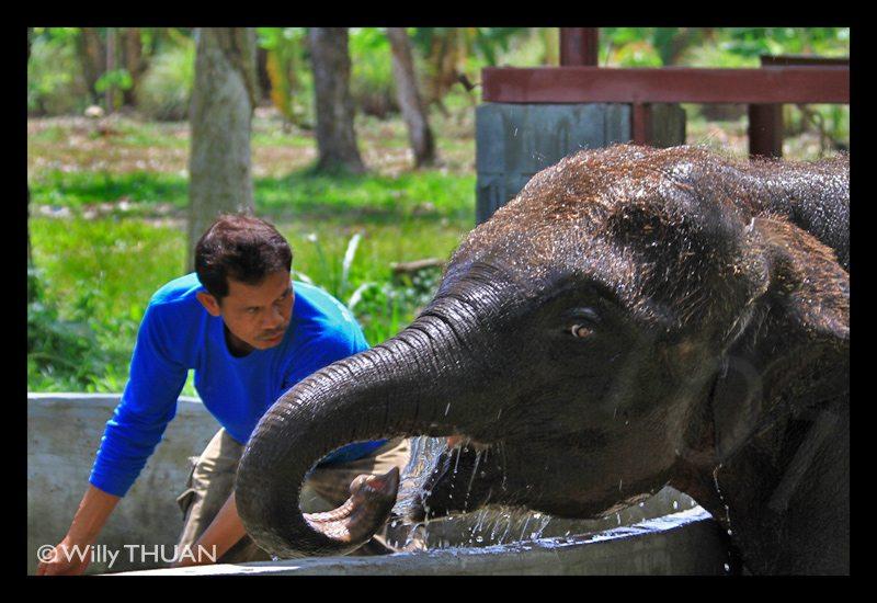 phuket-baby-elephants
