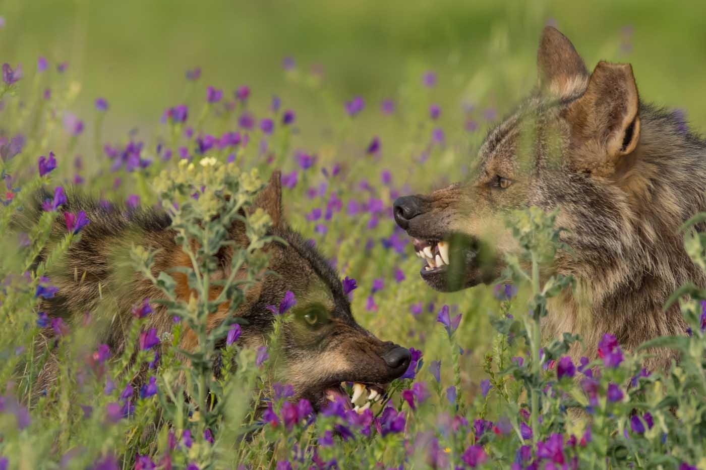 Crítica Barbacana, la huella del lobo