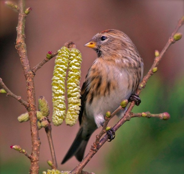 Redpoll on catkins