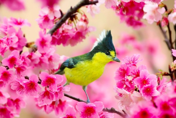 Formosan Yellow Tit and Cherry Blossoms