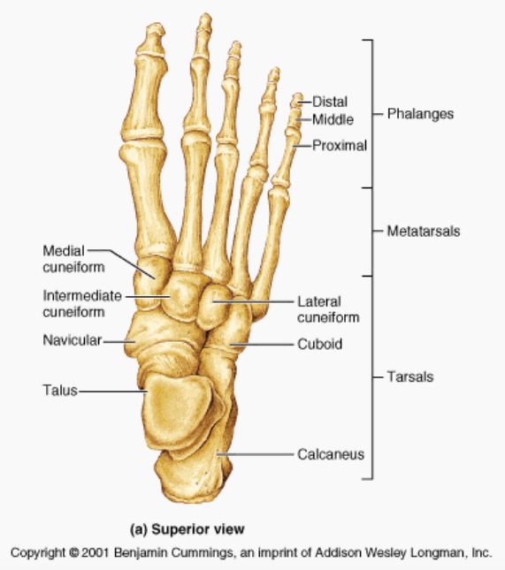 Foot Bones (Google Images)