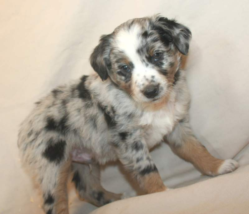 Large Of Corgi Mix Puppies For Sale