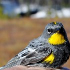 A yellow-rumped warbler sits in hybridization region in western Canada