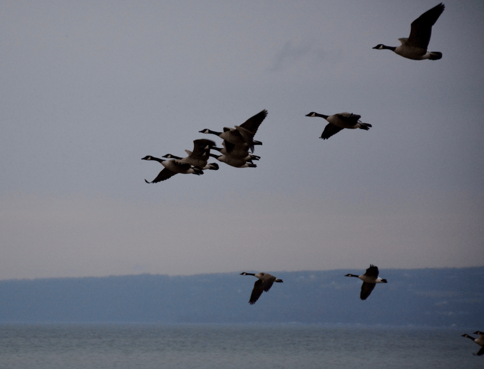Geese fly above Cayuga Lake near Stewart Park.