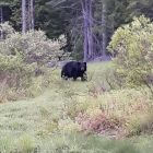 A user submitted image of an unafraid bear moving through private property.
