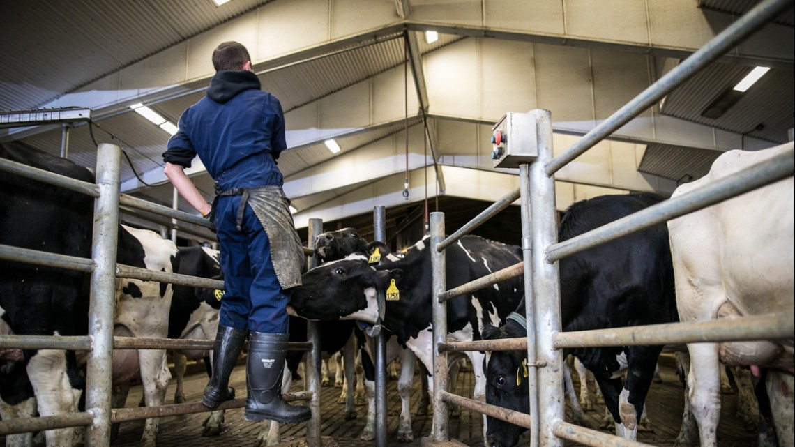 Starting in the fall of 2019, the Chobani Foundation will be providing scholarships to CALS students interested in dairy farming.