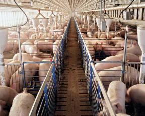 Cuando el problema es el olor sexual de la carne... de cerdo