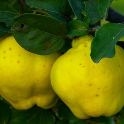 So, this is a quince, huh?
