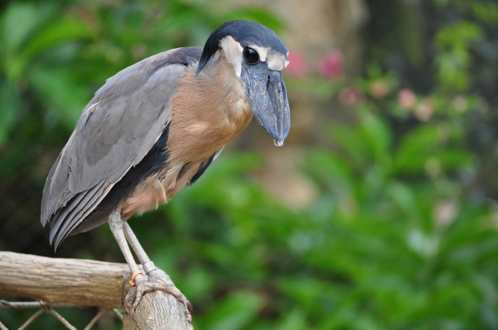 Boat-Billed Heron, Heron, Palo Verde national park, palo verde boat tour, rio tempisque, costour, guanacaste, birds, tours