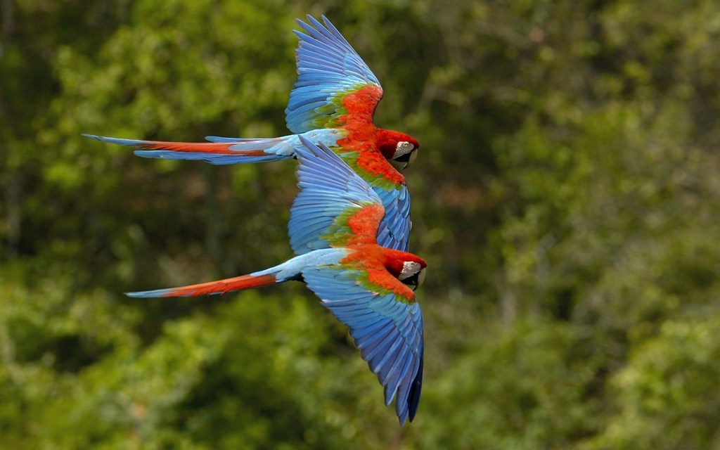 macaws, aras, lapas, costa rica, scarlet macaws, palo verde national park, palo verde boat tour, rio tempisque, costour, ortega, costa rica, birds, lovely