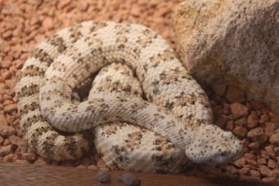Un sympatique serpent... Rassurez-vous derrière une vitre du Musée du Désert de Sonora !