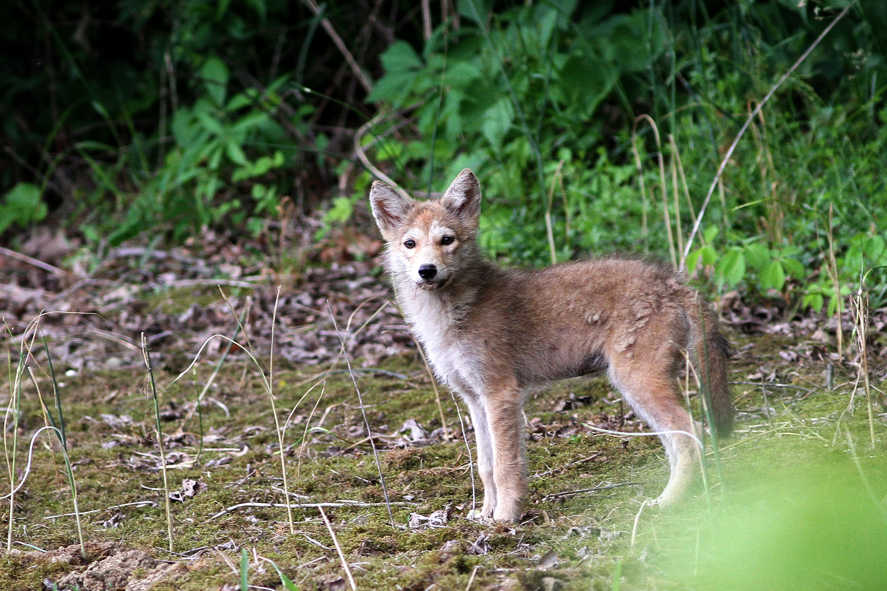 baby coyotes picture - HD3056×2037