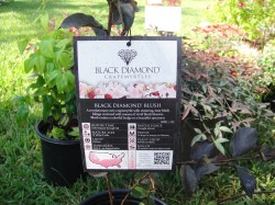Small Of Black Diamond Crape Myrtle