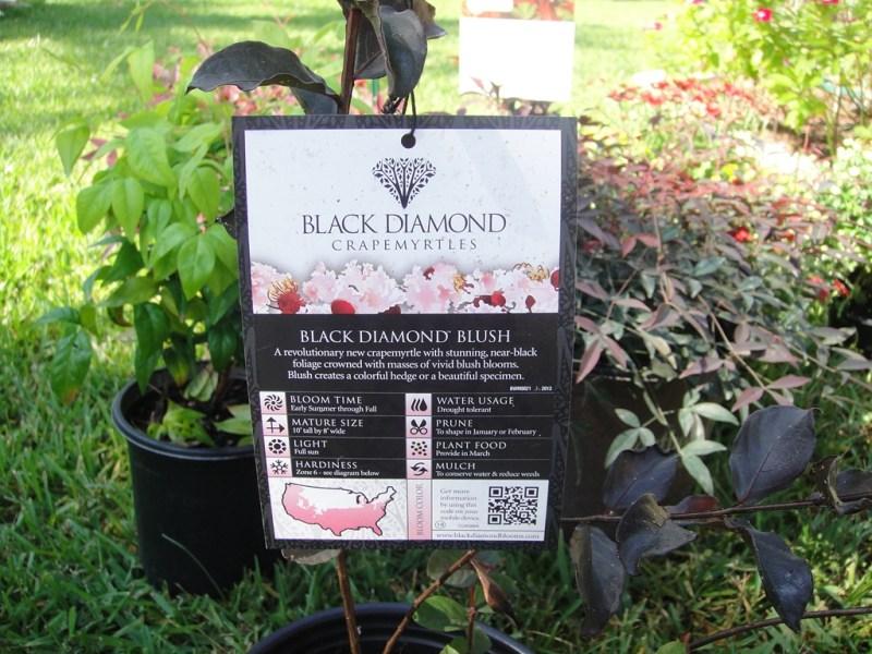 Large Of Black Diamond Crape Myrtle