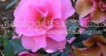 Камелия садовая. Быстро оттаявшие от мороза цветы камелии становятся коричневыми