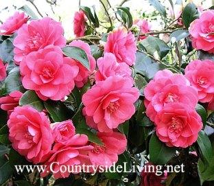Камелия в моем саду (Camellia). Уход за камелией