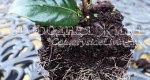 Камелия. Саженец растения