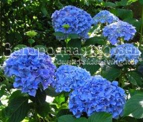 Гортензия садовая голубая. Уход, посадка, размножение, выращивание гортензии