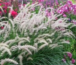 Декоративные травы и злаки для сада. Фото, названия, уход