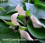 Триллиум прямостоячий Luteum - весенний первоцвет (Trillium erectum Luteum)