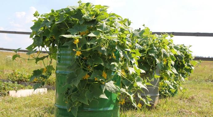 Дела огородные выращивание огурцов 2