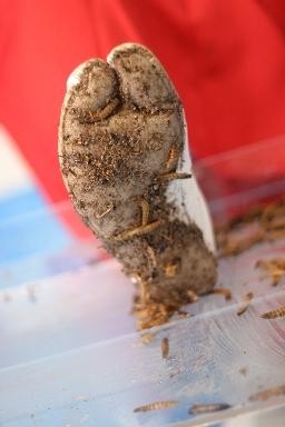ミルワームの残骸がたくさん。何匹も潰して真っ黒に汚れた白足袋!