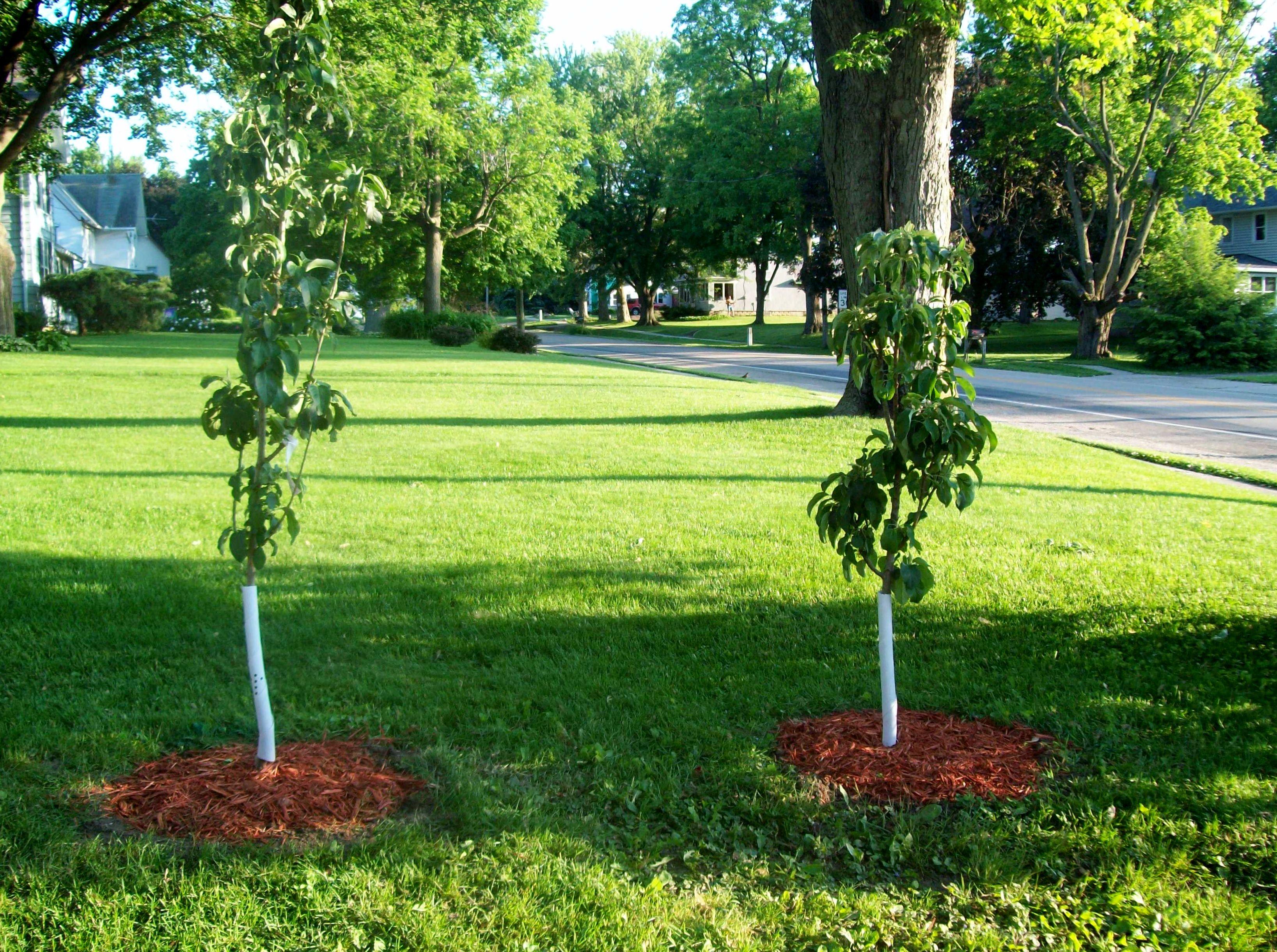 Fullsize Of Columnar Apple Trees